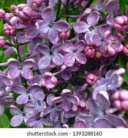 Macro photo nature plant Syringa flowers. Texture of a lilac Syringa bush with lilac buds. Blooming lilac Syringa with raindrops.