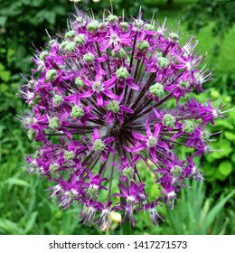 Macro photo nature purple allium flower. Background texture of round fluffy blooming lilac color allium. Image  plant blooming Allium onion flower on the field