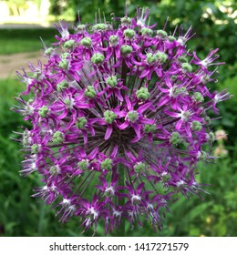 Macro photo nature purple allium onion flower. Background texture of round fluffy blooming lilac color allium. Image  plant blooming Allium flower on the field