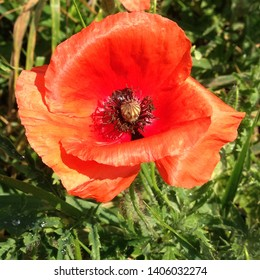 Macro photo nature red poppy flower. Background of blooming poppy flowers with open buds on the field. Poppy grows in the ground.