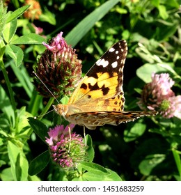 Macro photo nature Vanessa atalanta butterfly sitting on a clover flower. Background blooming red clover and butterfly. An image of a butterfly sitting on a clover