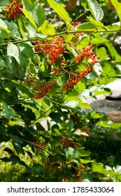Macro photo nature viburnum berries. Nature tree brunch of viburnum. Red juicy viburnum berries on brunch. Red viburnum berries on a branch in the garden.