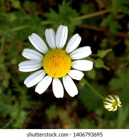 Macro photo of nature white daisy oxeye flower. Background of blooming daisy flowers with open buds on the field. Wild Chamomile grows in the ground.