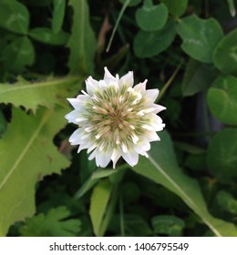 Macro photo nature white flower clover. Background of blooming clover flowers on a green field. Wild flowering clover grows in the ground.