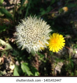 Macro Photo of nature white yellow flowers blooming dandelion. Background Beautiful blooming bush of white fluffy dandelions. Dandelion field