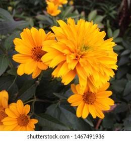 Macro photo nature Yellow summer flowers. Image blooming sunflower daisy flowers with yellow buds