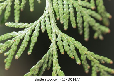 Macro photo of needles from a Western red cedar (Thuja plicata)