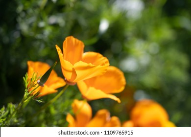 Macro photo of orange flower, Eschscholzia californica