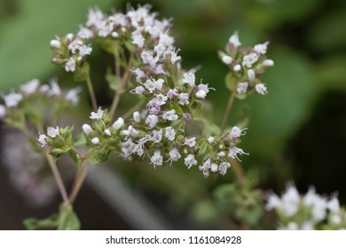 Macro photo of oregano flowers (Origanum vulgare)