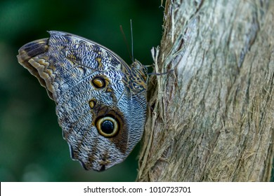 Macro photo of an owl butterfly. The owl butterflies are known for their eye spots, which resemble owls' eyes. They are found in Mexico, Central, and South America.