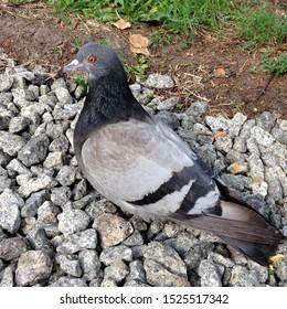 Macro photo pigeon dove bird. Photo nature  bird dove sit on ground
