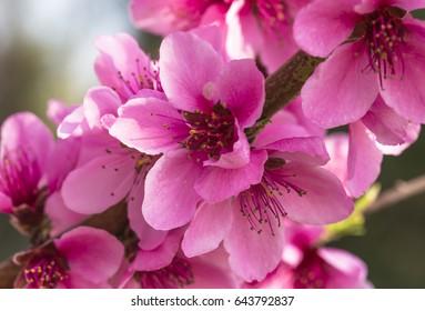 macro photo of pink beautiful peach blossoms