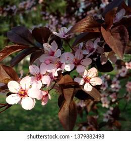macro Photo of pink flowers of blossoming sakura. Cherry Sakura tree with blooming petals. Beautiful sakura flowers bloomed on a branch