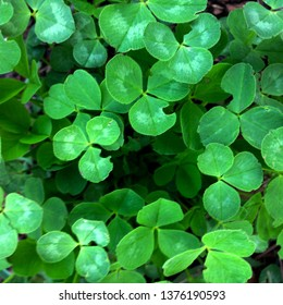 Macro Photo of a plant clover. Flower plant clover with fluffy green petals. Clover bouquet grows in the ground against the background of green leaves and plants