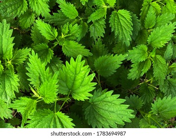 Macro Photo of a plant nettle. Nettle with fluffy green leaves. Background Plant nettle grows in the ground