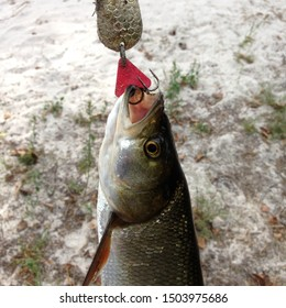 Macro photo predatory fish caught on a hook. Fishing Photo fish catch on hook