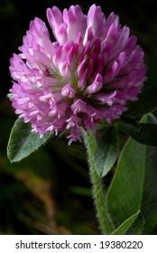 Macro photo of Purple Clover - Trifolium pratense