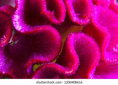 Macro photo of Red Cockscomb (Red Velvet).