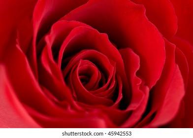 Macro photo of red rose