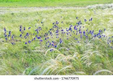macro photo of Salvia nutans ( nodding sage) flowers among the fluffy stems of feather grass
