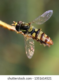 Macro photo shows a hoverfly (family Syrphidae), a common insect in the Philippines. The hoverfly frequents gardens and flowers to feed on nectar and pollen, and is also considered a pollinator.