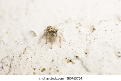 Macro photo of a small Jumping Spider