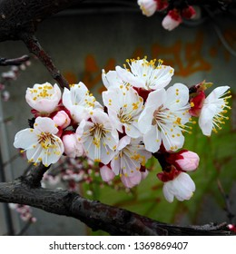 macro Photo of spring nature blooming japan sakura. Sakura flower with blooming pink and white buds. Flowers with white petals bloom on a tree branch.