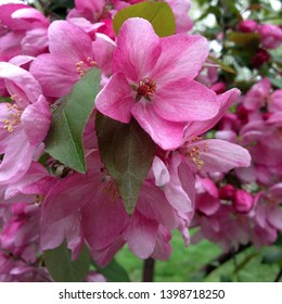 macro Photo of spring nature blooming pink sakura. Sakura flower with blooming pink and white buds. Flowers with white petals bloom on a tree branch.