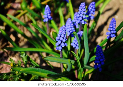 Macro Photo spring plant flower Muscari armeniacum. Background purple flowers muscari with green leaves. Blue Muscari wildflower grows in the ground