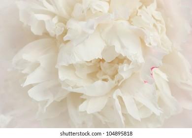 Macro photo of a stunning, creamy white peony