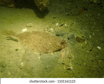 Macro photo of two European Plaice or flatfish in the Scheldt Estuary, the Netherlands.