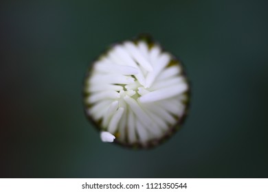 macro photo of a white bud of a flower top view