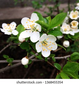macro Photo of white flowers of blossoming sakura. Cherry Sakura tree with blooming petals. Beautiful sakura flowers bloomed on a branch