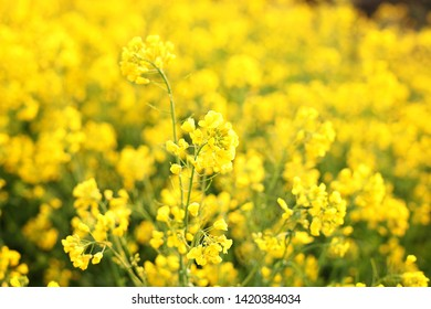 Macro photo of wildflowers. Bright yellow flowers in the morning close up. Natural summer floral background. Beautiful yellow flowers.  Rays of the setting sun on yellow flowers- meadow flowers