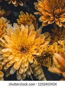 Macro photo of yellow mums flowers blossom