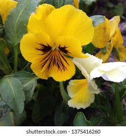 Macro Photo of a Yellow Violet. Flower viola with yellow petals. The violet plant grows in the ground