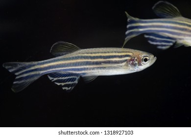 Macro photo of a zebrafish (Danio rerio) with a black background.