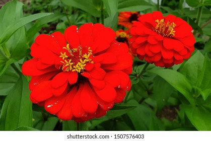 Macro photo of Zinnia flower. Background. Flower petals overlapping. Red flowers