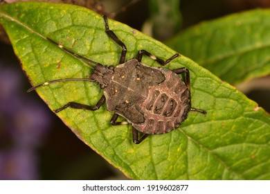 Macro photograph with artificial light of a specimen of a brown Marmorated stink bug (Halyomorpha halys) nymph, standing on a Piracanhta leaf.