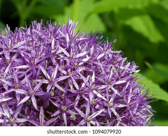 Macro photograph of a blooming purple allium flower (allium giganteum) on a sunny day in the city garden in Pfaffenhofen, Germany