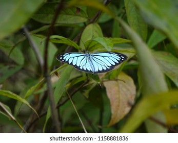 Macro photograph of butterfly called as Pareronia valeria, or common wanderer or Malayan wanderer, is a medium-sized butterfly of the family Pieridae found in forest near Mumbai