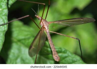 Macro photograph of a exemplary crane fly that can be easily found in mediterranean gardens