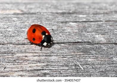 Macro photograph of italian ladybug on a wood