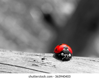Macro photograph of italian ladybug on a wood as good luck concept