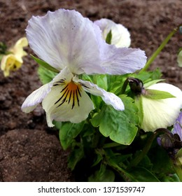 Macro Photograph Nature plant wild field violet. A violet flower with gently purple white loose petals and buds. Decorative flower violet sprouted in the ground on the background of green leaves