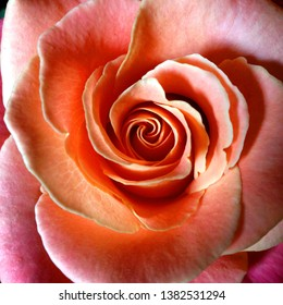 Macro Photograph of a rose bud. Blooming rose pink. Flower rose with lush loose petals.