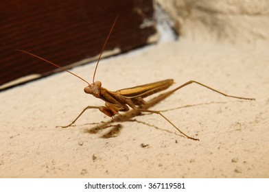 Macro photograph of a specimen brown mantis that can be easily found in mediterranean homes and gardens