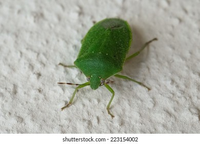 Macro photograph of a specimen green bug that can be easily found in mediterranean homes and gardens