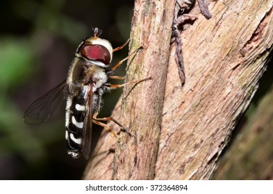 Macro photograph of a specimen hoverfly that can be easily found in mediterranean homes and gardens