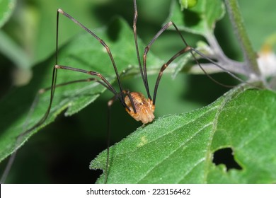 Macro photograph of a specimen opiliones that can be easily found in mediterranean gardens